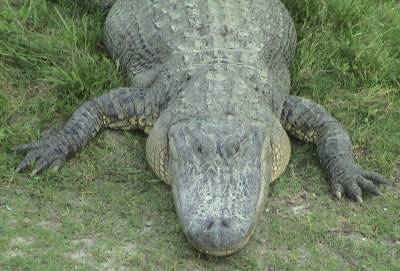 Alligator-head